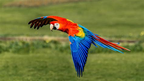 Kitchen Staging Ideas by Scarlet Macaw Birds Pet Profile Of Scarlet Macaws