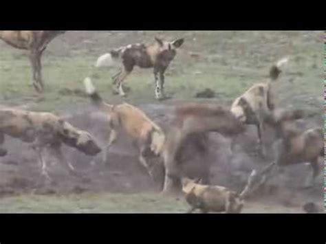 imagenes de animales salvajes decenas de perros salvajes atacan a una hiena
