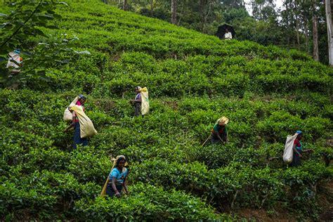 sri lanka tracing the origins of ceylon tea al jazeera