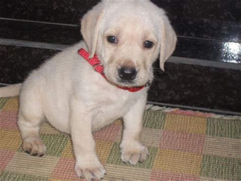 how much do lab puppies cost how much is a labrador retriever cost dogs our friends photo