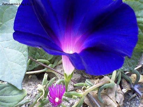 fiore azzurro fiore azzurro