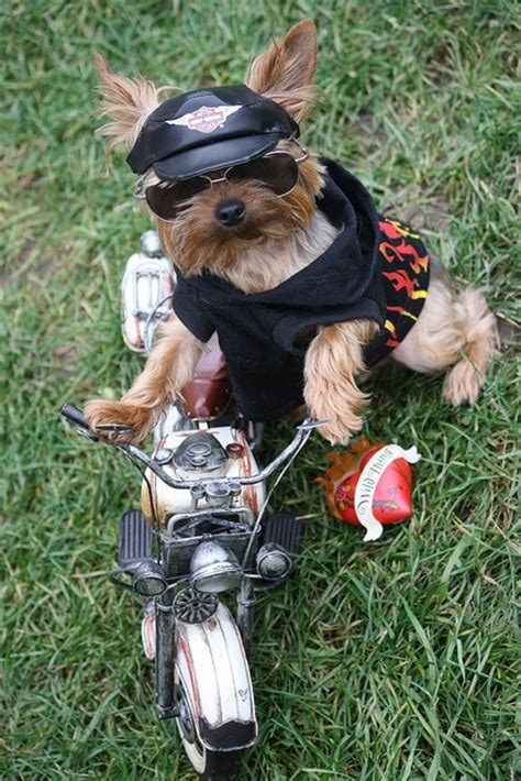 yorkie on motorcycle top 25 ideas about fido fashionista on amazing dogs formal vest and