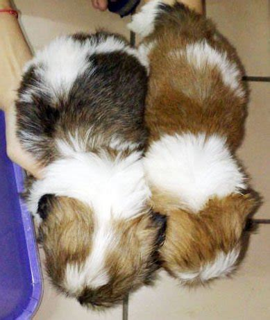 shih tzu price in malaysia shih tzu puppies for sale adoption from selangor subang adpost classifieds