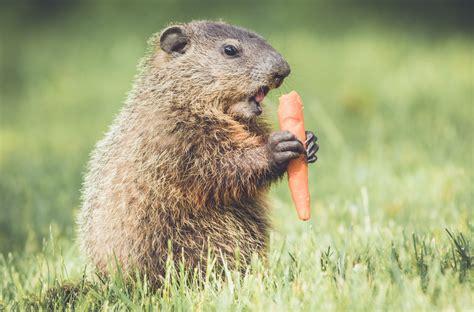 groundhog control  repellents   yard  garden
