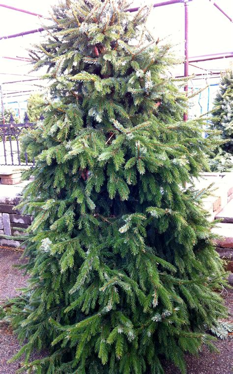 serbian spruce christmas tree 171 fiesta farms