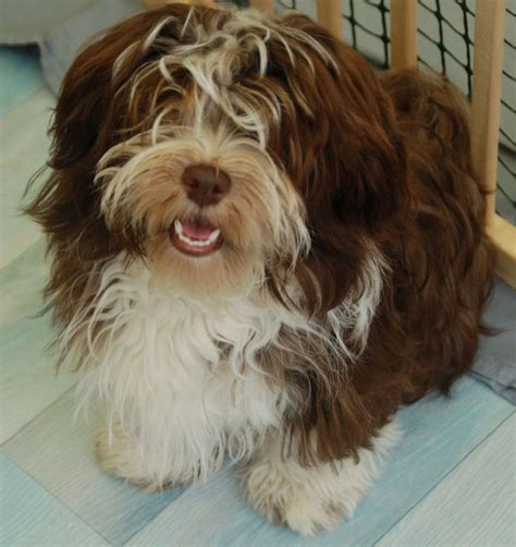 havanese and cats 120 best images about havanese hugs on westminster show abyssinian