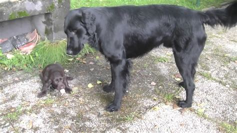 flat coated retriever father  puppies youtube