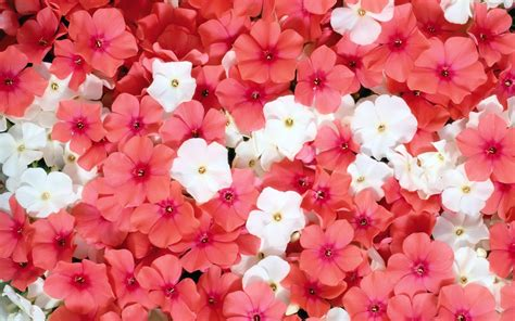 24908 White Pink Flower Size L pink and white phlox flowers hd wallpaper and