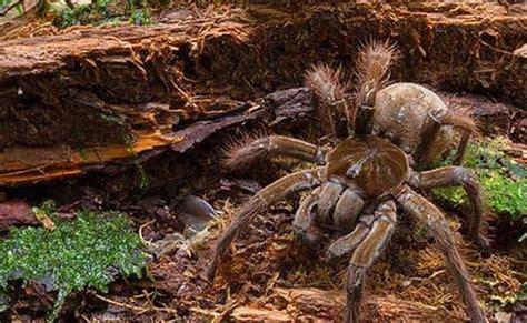 puppy sized spider puppy sized spider discovered in rainforest