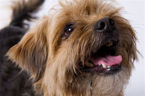 yorkie border collie mix border collie terrier mix breeds picture