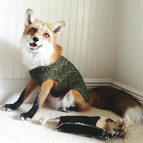 adorable pet fox named juniper will your