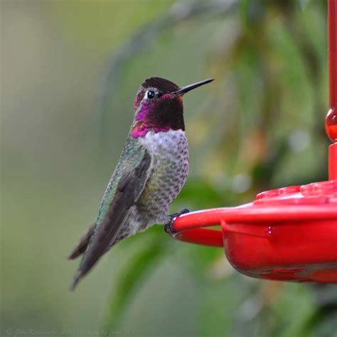 anna s hummingbird ebirdr