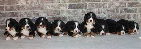 theme names for litter of puppies litter b wcc s bernese mountain dog puppies