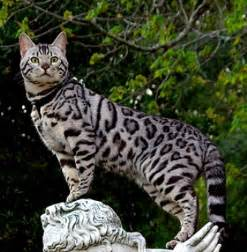 animals plants rainforest bengal cat price just side