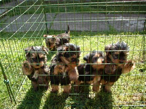 how to a yorkie puppy to outside the terrier