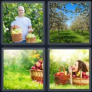 fruit 7 letters 4 pics 1 word answer for apples trees fruit eat heavy