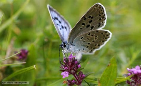 Big Butterfly a tale of thyme ant and the sheep the large blue butterfly ramblings