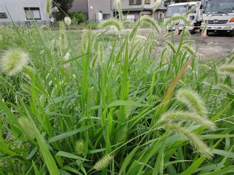how to get rid of grass in flower beds killing foxtail weeds information and tips for foxtail