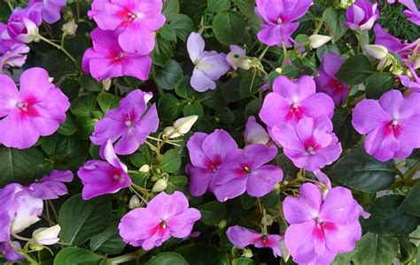 easy annual plants that bloom all summer long quiet corner