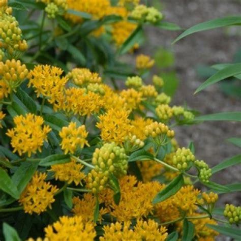 Hello Yellow asclepias tuberosa hello yellow milkweed