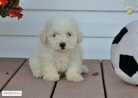 shichon puppies for sale in ky best 25 shichon puppies for sale ideas on puppy yorkie shih tzu mix