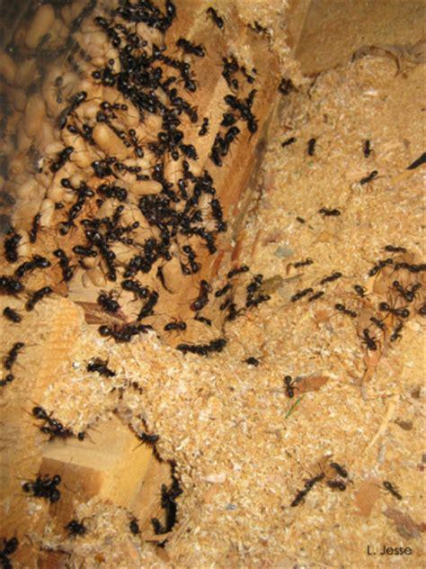 carpenter ant nest exposed horticulture  home pest news