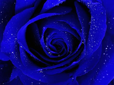 free wallpaper blue roses blue rose wallpapers hd pictures one hd wallpaper