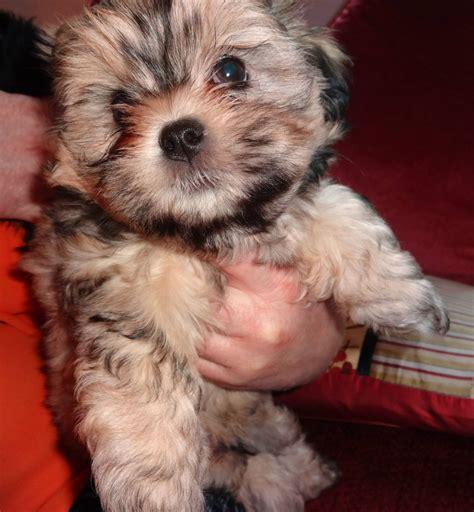 malshi puppies for sale malshi puppies for sale southton hshire pets4homes