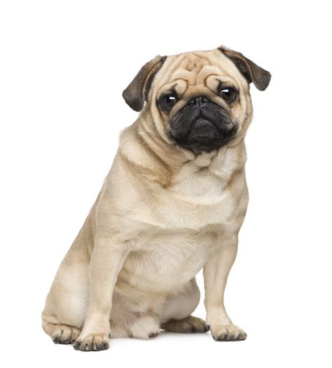3 year pug pug 3 years stock image image of small creature breed 7556523