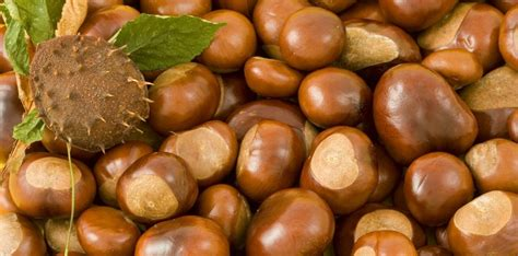 are acorns poisonous to dogs are conkers and acorns poisonous to dogs pete the vet