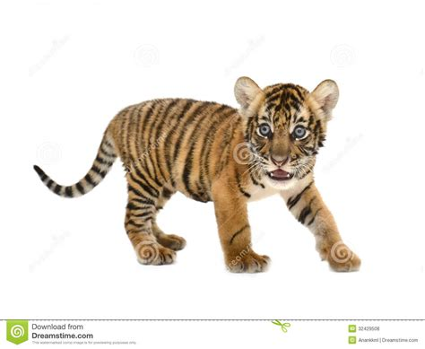 baby tiger with big tiger with images baby bengal tiger stock photo image of fauna