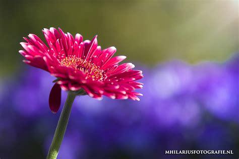 bloemen in afwasmiddel en water fotograferen druppels op bloemen fotograferen mhilariustutorials