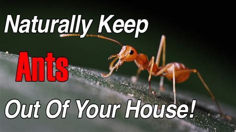 get rid of house ants how to get rid of ants fast naturally how to get rid of