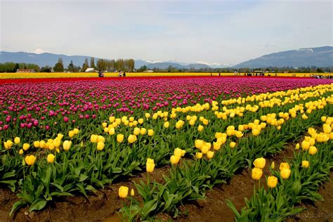 tulip feilds beautiful tulip fields is the best places to travel