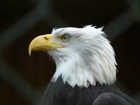 Description bald eagle p1010358 jpg