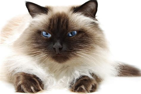 himalayan cats himalayan cat purrfect cat breeds