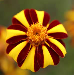 Yellow Annual Flowers Full Sun - marigold harlequin buy online at annie s annuals
