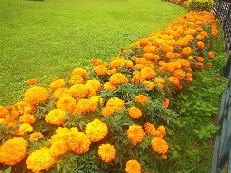 growing marigolds greenmylife anyone can garden