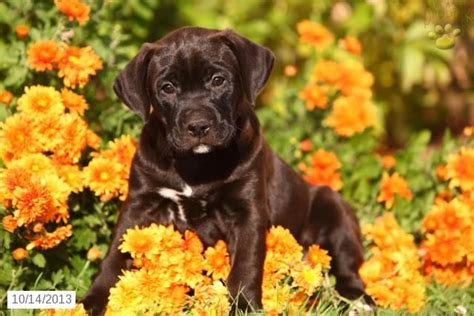 boxador puppies for sale 1000 images about boxador on boxador puppies for sale puppies for sale