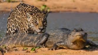 Jaguar Fighting Crocodile Jaguar Attacks Crocodile Big Cat Attacks Caiman Crocodile