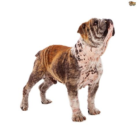 demodectic mange in dogs mange in bulldogs www pixshark images galleries