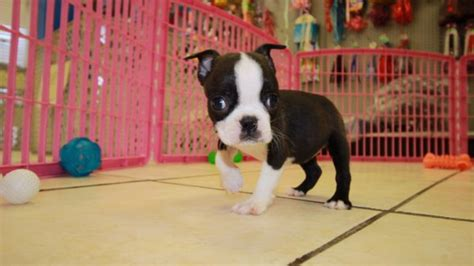 boston terrier puppies for sale in ga adorable boston terrier puppies for sale in ga at puppies for sale local