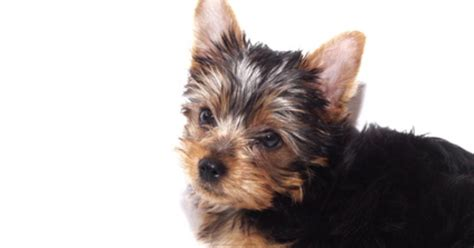 what is the expectancy of a yorkie fotolia 2010003 xs jpg w 1200 h 630 crop min 1