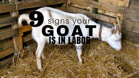 signs your is in labor 9 signs your goat is in labor the free range