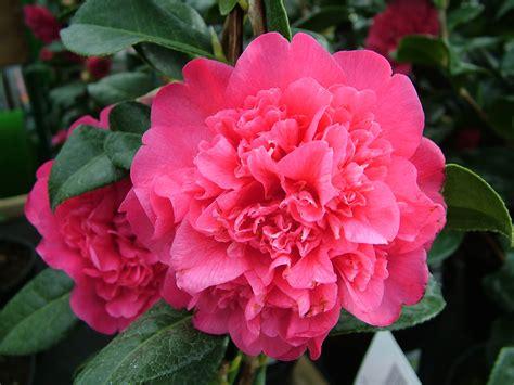camellia flowering shrub camellias squire s garden centre