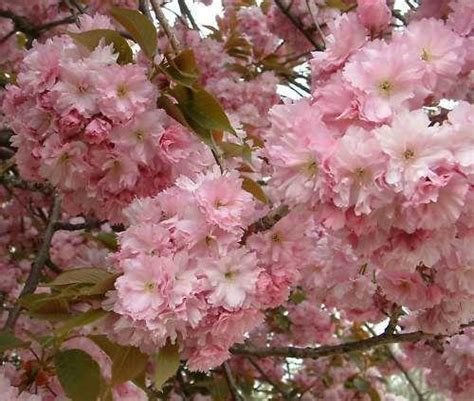 1 cherry tree brandesburton flowering cherry tree ebay