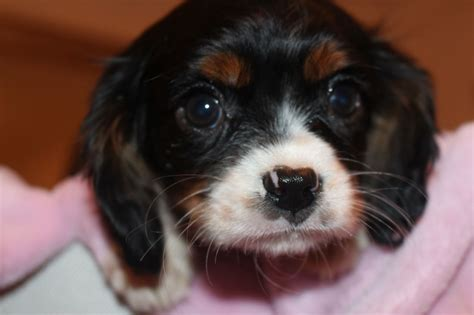 cavalier puppies cavalier king charles puppies boys only pets4homes