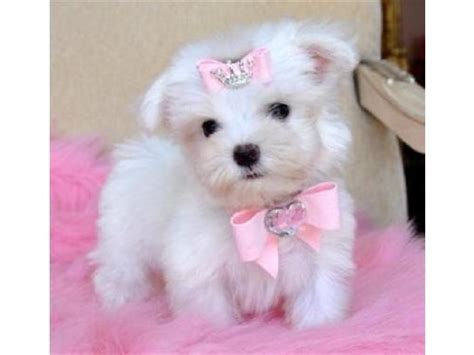 yorky en adopcion teacup yorkie miniatura cachorros para libre en san luis potosi anuncios