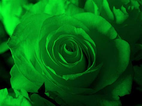 wallpaper of green rose beautiful hd wallpapers green rose hd wallpaper