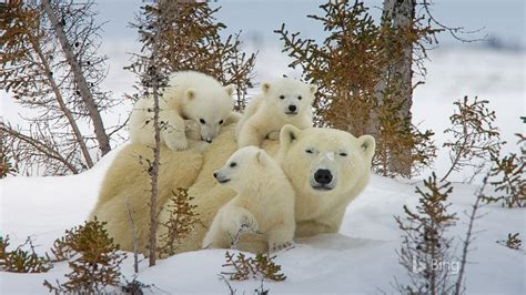 canada national park polar bear bing  preview
